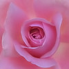 Pink Rose Macro (Barry Wallis) Tags: pink flower macro rose interestingness50 i500 explore19apr06 barrywallis nikonstunninggallery