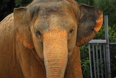 Dumbo (fotoJENica) Tags: elephant animal nikon remember florida miami african memory beast metrozoo nikond200