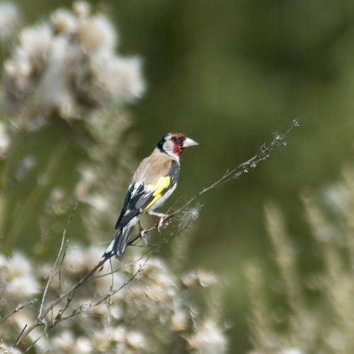Goldfinch #2