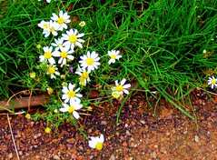 je t'aime un peu, beaucoup.... (Viou) Tags: flowers white fleurs baladeparisienne