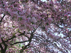 I come not to entertain you with worldly festivities but to arouse... (GangaSunshine) Tags: park pink tree nature beautiful blossoms dream romance lilac memory ecstasy dreamer magical immortality blooming awaken ecstatic captivating yogananda arouse paramahansa highparktoronto