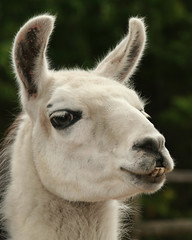 Lola's lashes were her best feature... (Dailyville) Tags: tag3 taggedout wisconsin zoo tag2 tag1 llama lola suamico dailyville specanimal animalkingdomelite