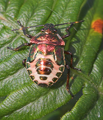 "Shieldbug instar (nymph) • <a style=""font-size:0.8em;"" href=""http://www.flickr.com/photos/57024565@N00/240382419/"" target=""_blank"">View on Flickr</a>"