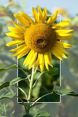 Tournesol (Laurent Moulin photographie) Tags: out bound bounds frame hors du cadre tournesol fleur de soleil petales feuilles leafs leaf petale feuille