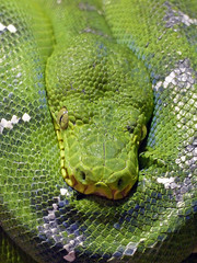 Resting Snake (brentflynn76) Tags: color colour macro green texture face animal zoo eyes reptile snake wildlife scales
