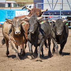 Bulls Run (mdalmuld) Tags: australia bulls rodeo charging gresford