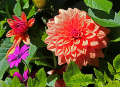 orange dahlia (joybidge) Tags: dahlia dahlias victoriabc naturepatternscanada trishcanada tssept192015
