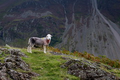 Sheep at Wass Water (matt_anderson1999) Tags: lake canon nationalpark district hill cumbria canon100d