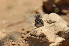 Junonia rhadama (dhobern) Tags: africa october lepidoptera madagascar antananarivo 2015 nymphalidae nymphalinae junonia rhadama