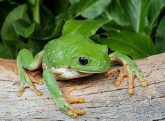 Mexican Leaf Frog (Agalychnis dacnicolor) (David A Jahn) Tags: sonora giant mexico leaf frog mexican treefrog agalychnis pachymedusa dacnicolor