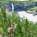 Bighorn Sheep at Glacier - 2nd Place Image from Last Conference - Al Perry