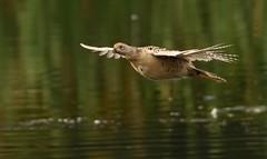 Female pheasant (ftm599) Tags: lake bird nature water flying wings pheasant wildlife lowbarns femalepheasant nikond810