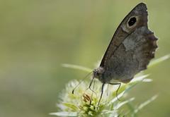 Le Faune - Hipparchia statilinus -  (michel lherm) Tags: papillons lpidoptres hipparchiastatilinus rhopalocres lefaune