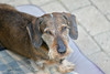 (Kenneth Gerlach) Tags: gravhund lajka ruhåret
