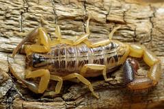 Uroplectes fischeri 'light' (Tanzania)  adult (ScorpionsExplored) Tags: tanzania noflash scorpion venomous invertebrate buthidae 1600pixels