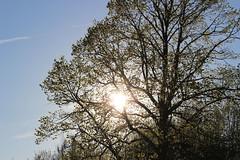 Sun (andreashoff) Tags: sunset sun tree sol nature leaves sunshine landscape sweden natur sverige trd landskap lv