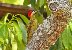 Green-barred Woodpecker (Colaptes melanochloros) (Chrysoptilus melanochloros) (Francisco Piedrahita) Tags: birds brasil aves greenbarredwoodpecker colaptesmelanochloros chrysoptilusmelanochloros