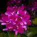 Lc. Tristar Bouquet 'Florabunda' – Xiem Li