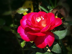Rose (R_Ivanova) Tags: red summer plant flower color macro nature colors rose garden sony    rivanova