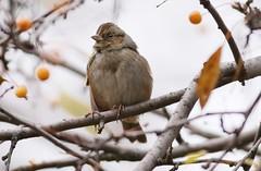 Swamp Sparrow (melospiza georgiana) (mrm27) Tags: newyorkcity usa newyork centralpark sparrow melospiza swampsparrow melospizageorgiana