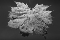 Large Sycamore Leaf (J.R.R. McMillan) Tags: life autumn white black monochrome leaves leaf still sycamore backlighting
