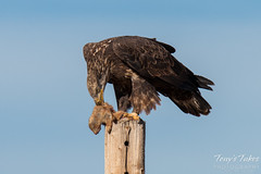 Bald Eagle rearranges its kill