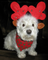 """12/12A ~ """"Reindeer Riley"""" (ellenc995) Tags: christmas portrait cute riley westie westhighlandwhiteterrier coth supershot fantasticnature citrit pet100 rubyphotographer 100commentgroup alittlebeauty challengeclub coth5 thesunshinegroup sunrays5 12monthsfordogs15"""