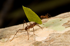 Atta cephalotes (Kevin Stohlgren) Tags: macro leaf costarica sony ant sigma ants cutter leafcutter osa a77 atta osapeninsula 70mm cephalotes