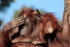 Baju en Wattana (K.Verhulst) Tags: baju wattana orangoetan orangoetang ape mensaap apenheul apeldoorn monkeys apen orangutan