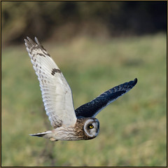 Short-eared Owl (image 2 of 3) (Full Moon Images) Tags: east anglia fens cambridgeshire bird prey birdofprey wildlife nature flight flying shorteared owl short eared seo