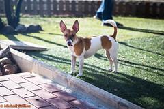 IMG_0929.jpg (bodsi) Tags: bodsi jackrussel dog chien littledog tesa