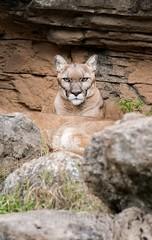 The Standoff (montusurf) Tags: puma mountain lion cougar rock stare standoff portrait cameron park zoo waco texas