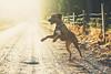 Happniess ala dog (JosefineKphotography) Tags: rhodesianridgeback rhodesian dog dogdays canoneos5dmarkiii tamron bokeh matte forest sweden södermanland christmas
