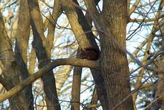 don't disturb, i'm eating(sciurus vulgaris meridionalis, black squirrel) (Fabio.Buoso) Tags: scoiattolo nero sciurus vulgaris meridionalis black squirrel
