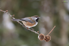 Mésange à tête brune - Boreal chickadee - Poecile hudsonicus (Maxime Legare-Vezina) Tags: bird oiseau nature wild wildlife animal fauna ornithology biodiversity canon winter hiver forest