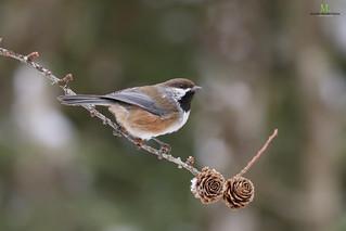Mésange à tête brune - Boreal chickadee - Poecile hudsonicus