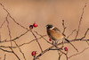 stchat (mal265) Tags: stonechat rspb old moor wildlife birds bird ngc