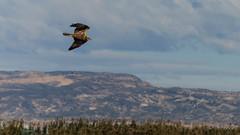 Aguilucho Lagunero (J. E. Svoboda) Tags: aguilucho lagunero aves fauna humedal rapaz pajaro alicante
