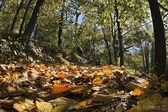 bosco e sottobosco, wood and undergrowth (paolo.gislimberti) Tags: parchiurbani urbanparks wood bosco alberi trees foglie leaves autumn autunno autumnalcolors sottobosco undergrowth