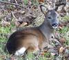 Roe Deer (chdphd) Tags: roedeer roe deer capreoluscapreolus capreolus seatonpark