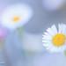 white wild Spring