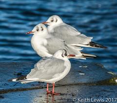 Three Gulls (keithhull) Tags: gulls seabirds bridlington northsea eastyorkshire blackheadedgulls explore