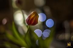 TULIPANO (Lace1952) Tags: fiore tulipano luci foglie effetto bolle sfocato nikond750 zeiss50mmf14