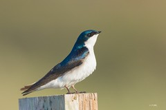 Tree swallow (Tang Heng) Tags: