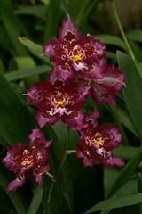 Odontioda n.r. (rolf_leon) Tags: orchideen orchids orchidées oncidium odontoglossum odontioda