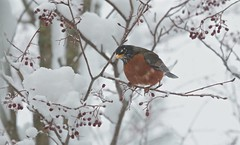 Hello, little robin! You have snow on your beak! 02 (smilla4) Tags: robin berries wildlife april maine
