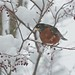 Hello, little robin! You have snow on your beak! 02
