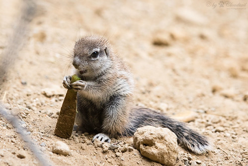 Young african ground squirrel
