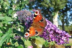 Busy butterfly (In Explore) (Steenjep) Tags: flower macro closeup butterfly sommerfugl tagpfauenauge inachisio dagpåfugleøje europeanpeacock s6400