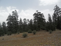 Ceder trees (The Advocacy Project) Tags: mountains forest morocco rugs carpets ceder azrou amazigh ainleuh middleatlas advocacyproject ahidous womenweavers peacefellow cooperativedestisseusesdainleuh festivalnationaldahidous